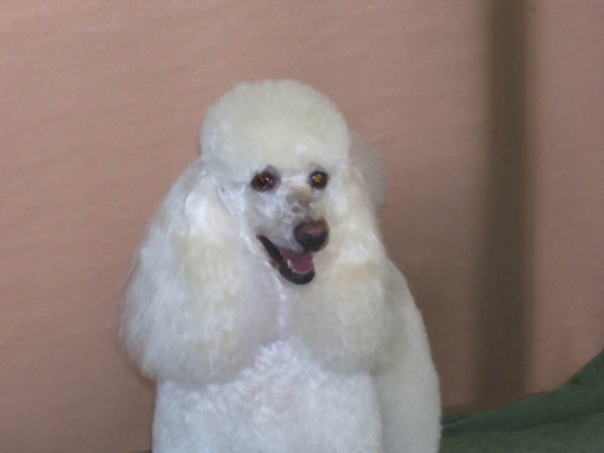 Susie - Poodle