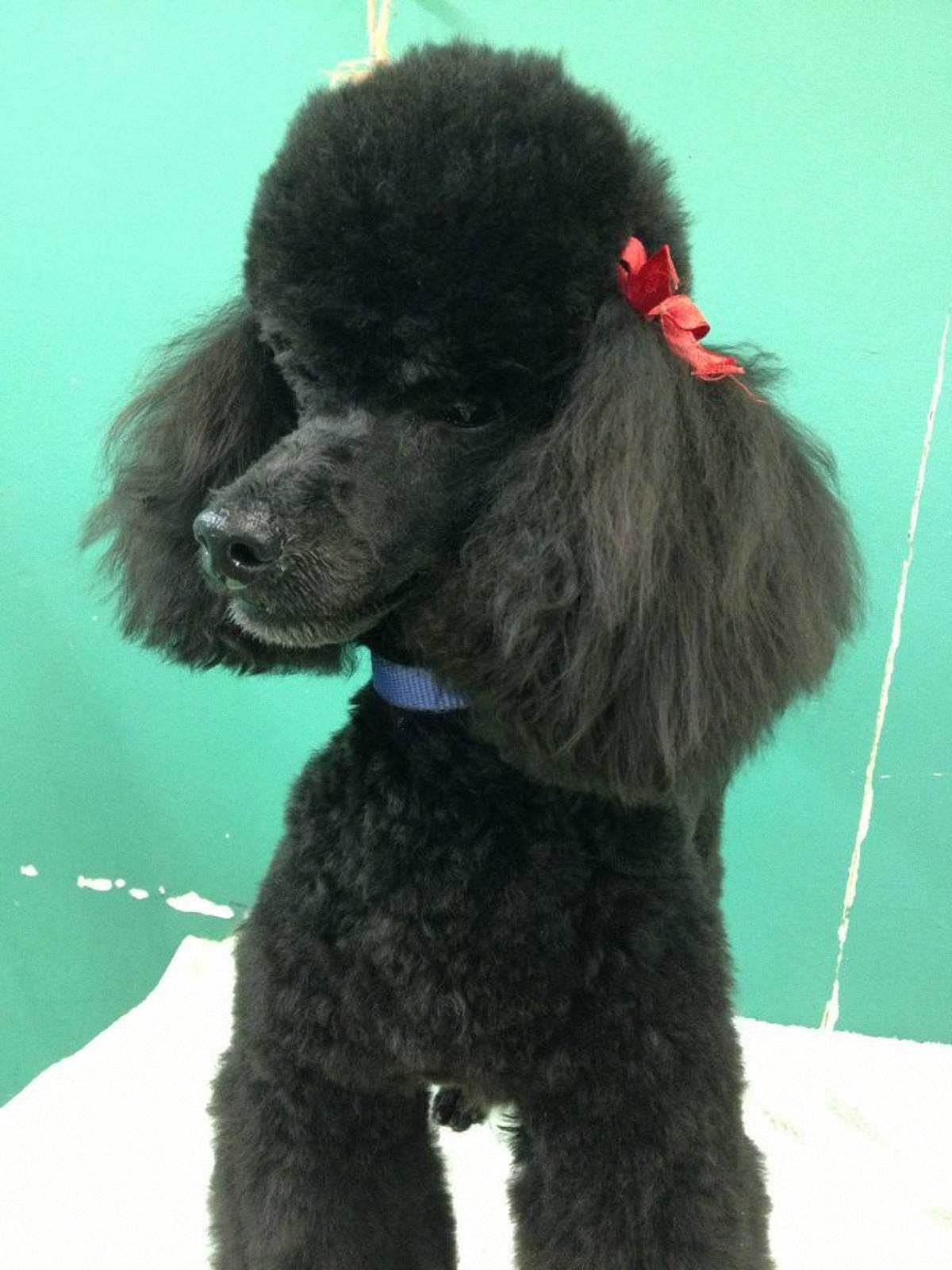 Bobby the Toy Poodle