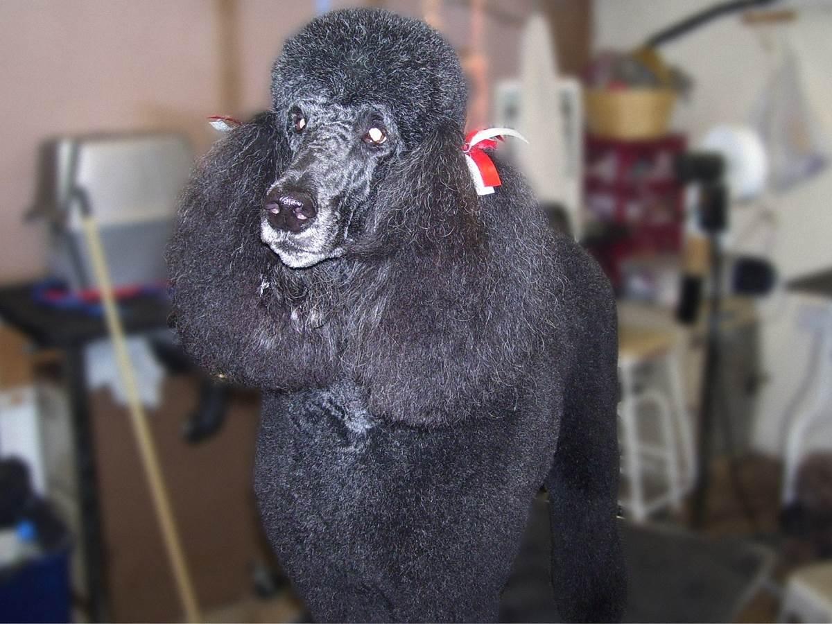 Kassie the Poodle